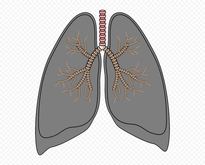 Gray Lungs Trachea Respiratory Vector Icon Clipart