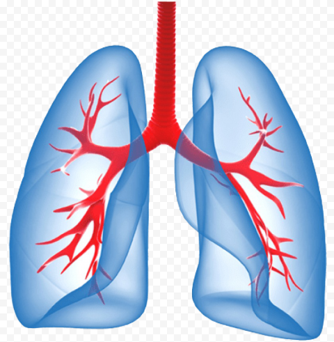 Humain Lungs Trachea Illustration Respiratory System
