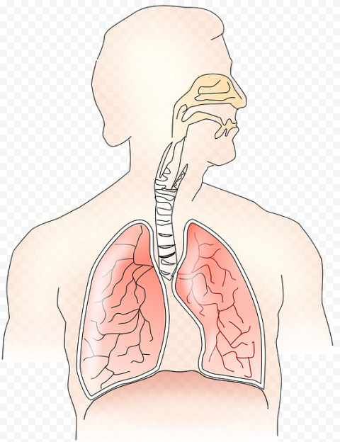 Humain Lungs Respiratory System Trachea Bronchus Vector