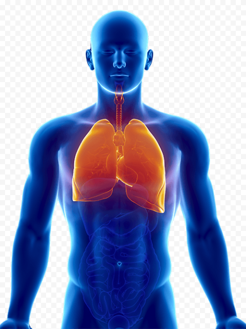 Lungs Respiratory System Electric Blue Human Anatomy