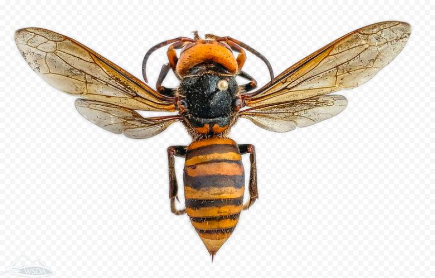 Asian Monstrous Murder Hornets Vespa Mandarinia