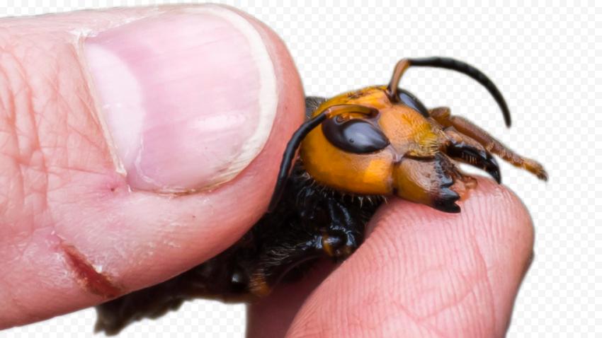 Asian Insect Murder Hornets Vespa Mandarinia