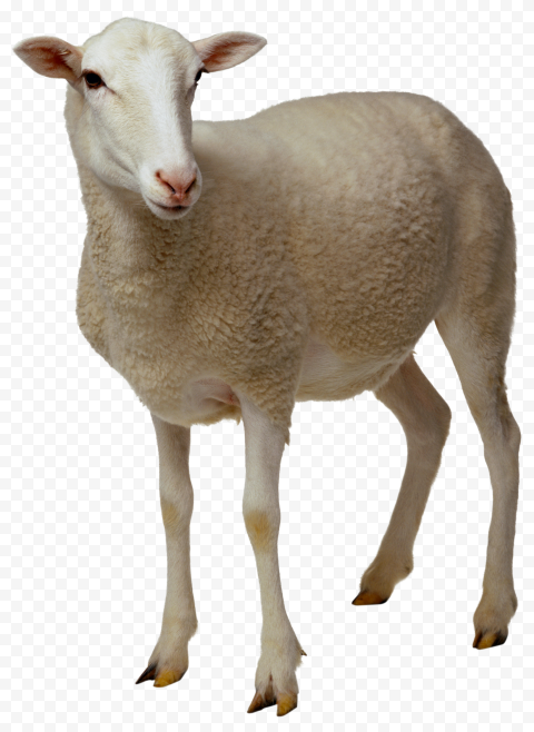 Mammal Real Sheep Animal
