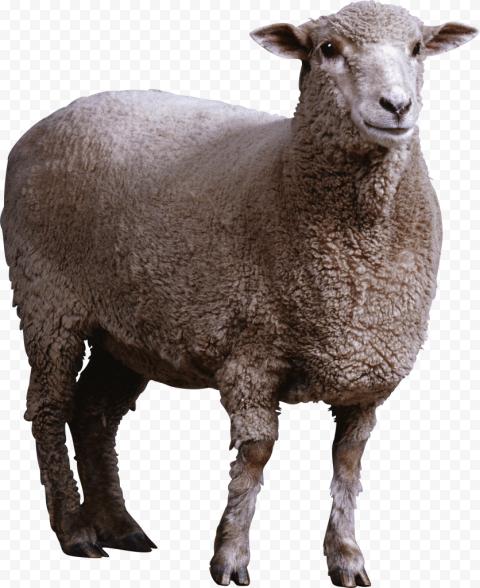 Standing Up Real Sheep Animal