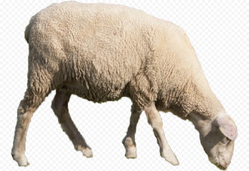 Real Sheep Animal Eating Grass