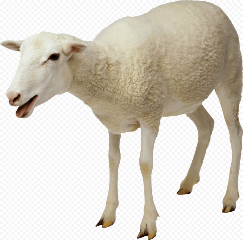 Real Sheep Standing Up Without Wool