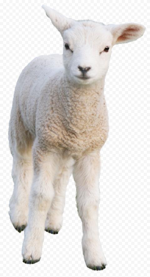 Cute Real Sheep Lamb Mammal Animal