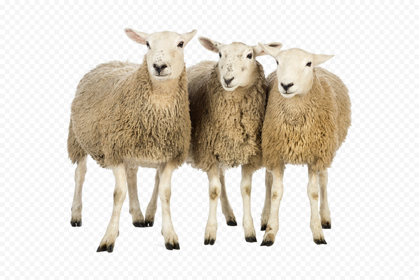 Three Real Wooly Sheep