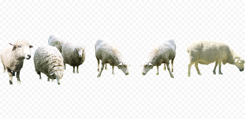 Group Of Wooly Sheep Eat Grass