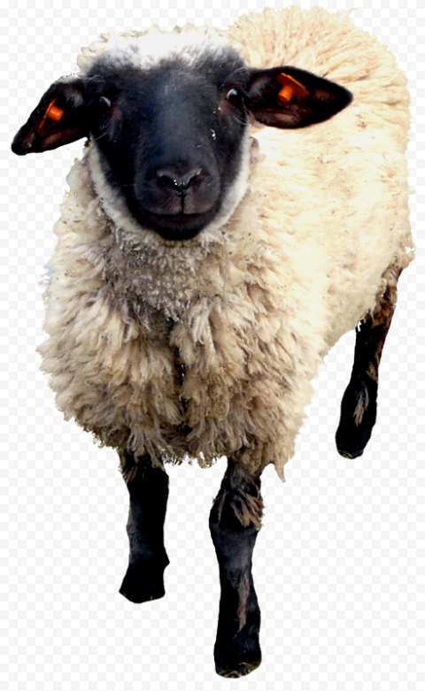 Standing Up Sheep With Black Head And Legs