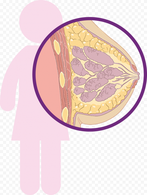 Breast Cancer Clipart Anatomy Icon