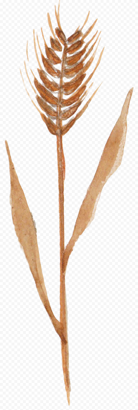 Brown Cereal wheat png watercolor