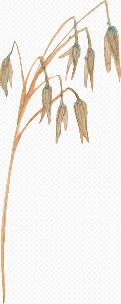 Nature Cereal wheat png watercolor