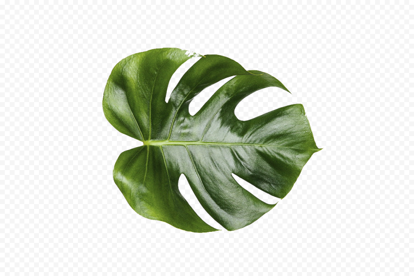 Nature Leaf Swiss cheese plant Green