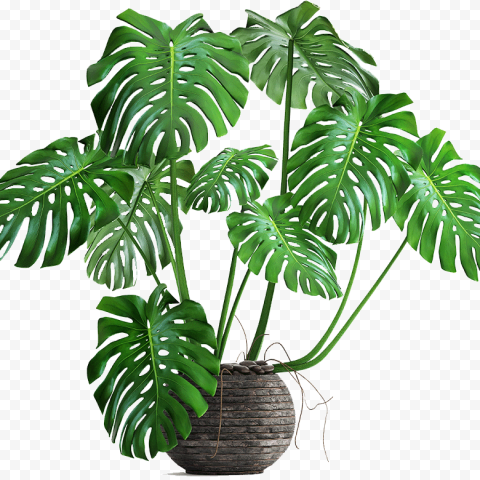 Monstera Deliciosa Cheese Plant Leaf