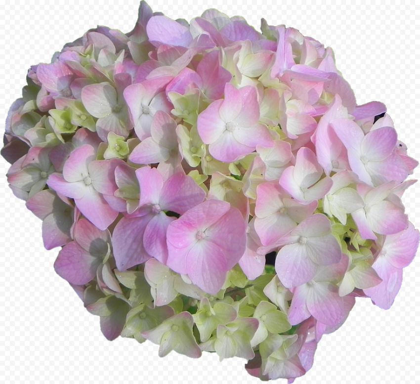 Pink White Bouquet Hydrangea Flower