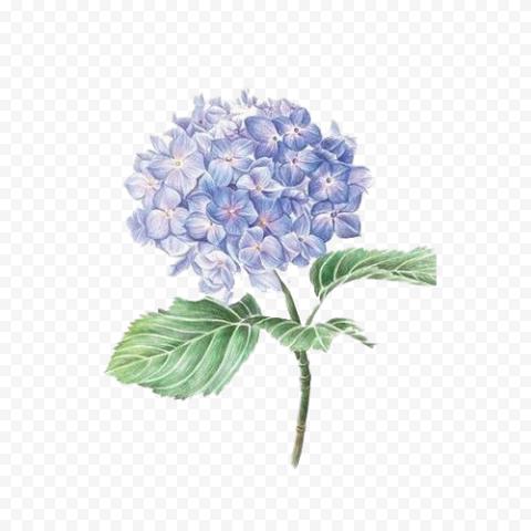 Purple Hydrangea Flower Watercolor