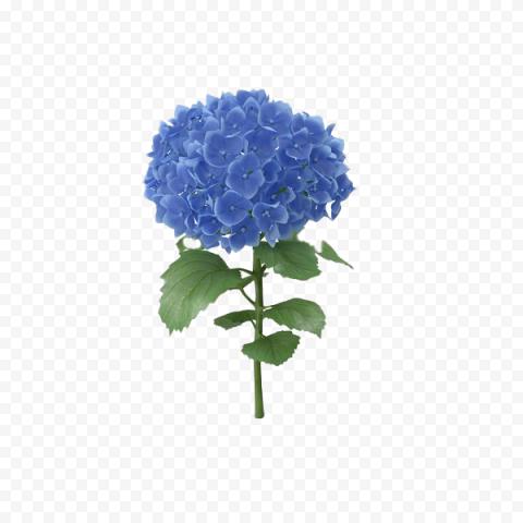 Real Blue Hydrangea Flower