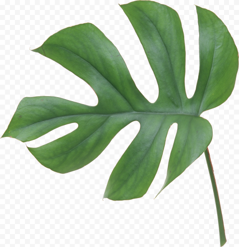 Real Leaf Swiss cheese plant Green